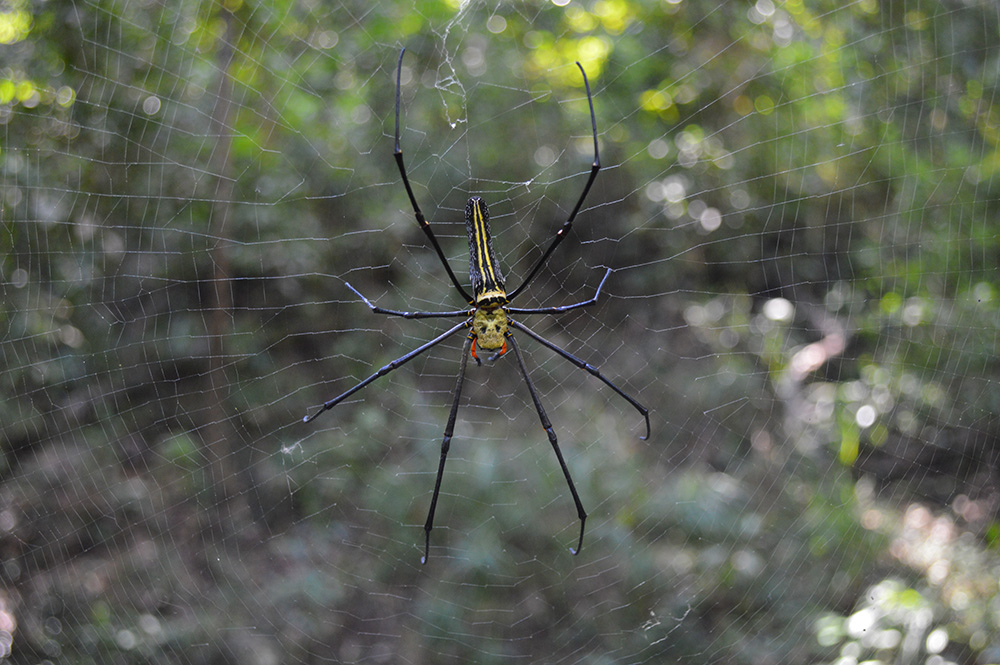 "Banana spider, 6"", toe to toe."